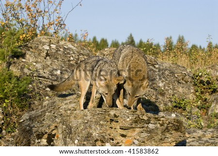 Adult male and sub-adult female coyotes (Canis latrans) on rocky outcropping in northwestern United States.