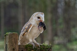 Adult male Barn Owl with prey in its beak photographed in the Yorkshire countryside. Tyto Alba English Barn Owl