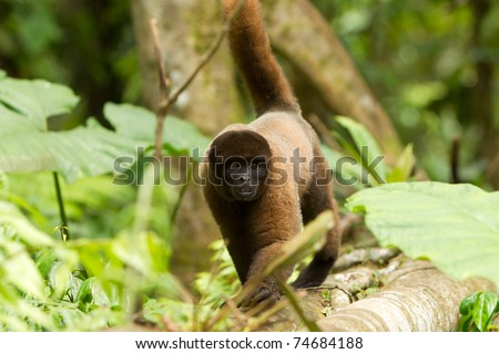 Adult Male Chorongo In The Ecuadorian Se Jungle Walking In His Nature Habitats  #74684188