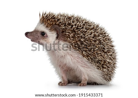 Adult male Four toed Hedgehog aka Atelerix albiventris. Sitting side ways, looking curiously up. Isolated on a white background.