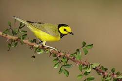 Adult male Hooded Warbler (Setophaga citrina) during spring migration at Galveston County, Texas, USA.