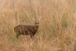 Adult male Indian hog deer in the grassland of Dhikala zone of Corbett National Park, Uttarakhand, India on a cold winter evening