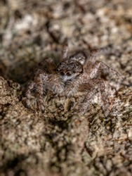 adult male jumping spider of the species Platycryptus magnus on a tree trunk with selective focus