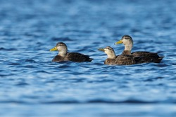 Adult male (left), adult female (center), adult male (right) American Black Ducks (Anas rubripes) Ocean Co., N.J.