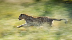 Adult male Leopard running fast through green grass backlit South Africa