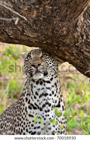adult male leopard scent marking his territory against a tree in Sabi Sand nature reserve, South Africa