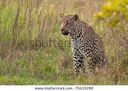 adult male leopard sitting in green grass in Sabi Sand nature reserve, South Africa