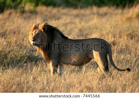 Adult Male Lion in Early Morning Light