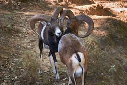 adult male mouflon (Ovis orientalis musimon) with large antlers in mating season in Ojen, Marbella. Andalusia, Spain