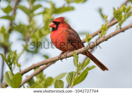 Adult Male Northern Cardinal in Early March in Louisiana