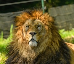 adult male of barbary lion (Panthera leo leo) portrait