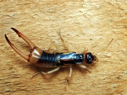 Adult male of Labidura riparia, a cosmopolitan species of earwig.