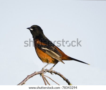 Adult male orchard oriole in a tree