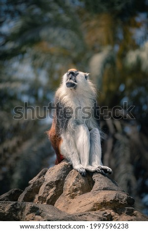 Adult male patas monkey sitting on top of a rock Foto stock ©