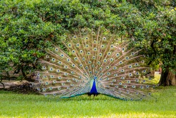 Adult Male Peacock Displaying Colorful Feathers standing on grass with trees in the background in Florida.