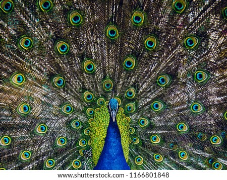 Adult male peacock displaying dolorful feathers, close up portrait of an adult male peacock showing his feathers #1166801848