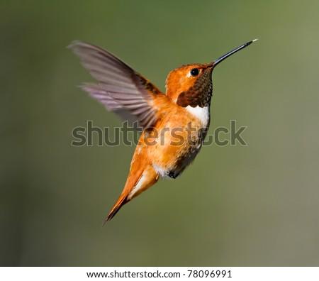 Adult Male Rufus Hummingbird