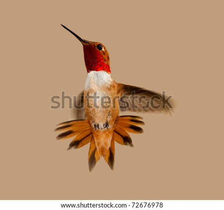 ... Adult male Rufus hummingbird iridescent gorget hovering with tail ...