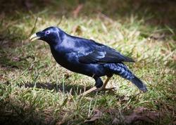 Adult male Satin Bowerbird, Blue black bird with purple eyes walks on the grass in Queensland Australia.