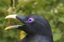 Adult male Satin Bowerbird. Head showing bright purple eye.