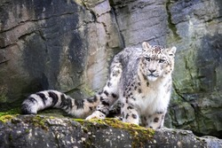 Adult male snow leopard, panthera uncia, stands on a rocky ledge.