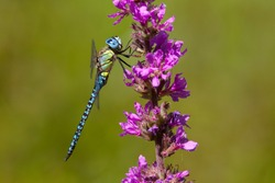 Adult male Southern Migrant Hawker (Aeshna affinis) resting on Purple lythrum (Lythrum salicaria) at the Gendse Polder, the Netherlands.