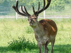 Adult Male Stag Red Deer