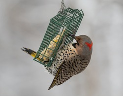 Adult male Yellow-shafted Flicker on bird feeder