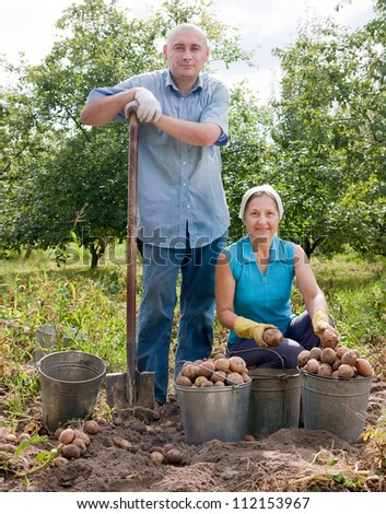 Adult man and woman harvested potatoes in field