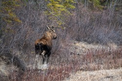 Adult moose running in a spring time natural environment in northern Canada, Yukon with the boreal forest surrounding the wild animal.