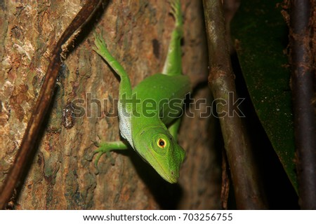 Adult Neotropical Green Anole (Anolis biporcatus), photographed on a tree in Tirimbina, Costa Rica