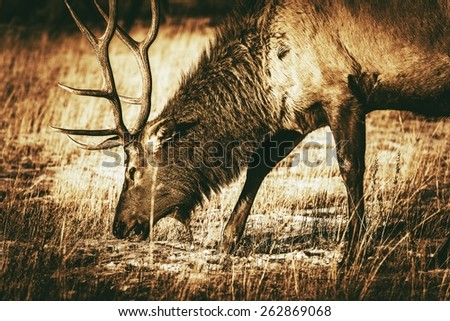 adult north american elk...