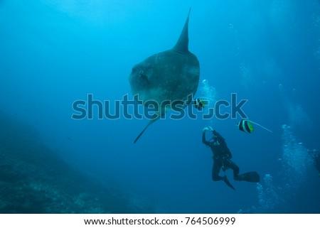 Adult Ocean Sunfish (Mola mola) heaviest bony fish in the world, Nusa Penida, Bali, Indonesia Foto stock ©