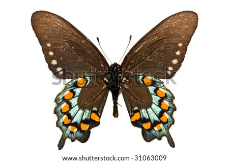 adult of Pipevine Swallowtail (Battus philenor) isolated on white - stock photo