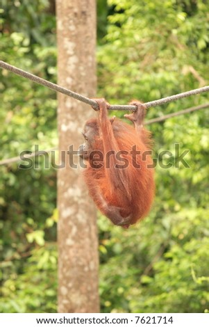 Adult Orang-Utan hanging from rope