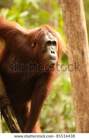 Adult orangutan looking in the distance