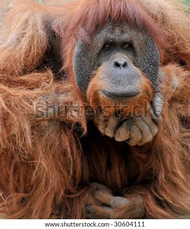 Adult Orangutan male