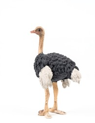 Adult Ostrich on White Background