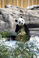 Adult panda is sitting and chewing bamboo at zoo outside on the snow