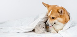 Adult Pembroke welsh corgi dog  sniffs at baby kitten under a warm blanket on a bed at home. Empty space for text