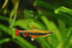 adult pencilfish in nature biotope aquarium, Nannostomus beckfordi red, Brazilian ornamental blackwater fish from Rio Negro