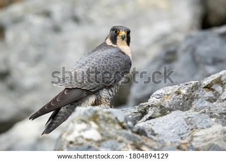 Adult peregrine falcon, falco peregrinus, sitting on mountains in fall. Fast predator observing on rocks in grey environment. Wild bird with deep sight looking to the camera. Foto stock ©