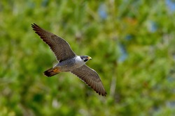Adult Peregrine Falcon (Hayabusa) is flying calmly in the green background