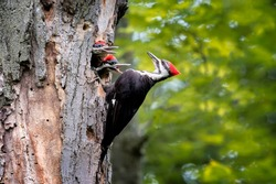 Adult pileated woodpecker feeding her two young offspring in an old tree in a forest.