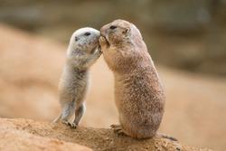 Adult prairie dog (genus cynomys)  and a baby  sharing their food
