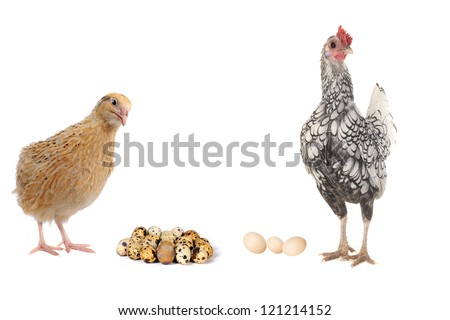 adult quail and hen isolated on white background