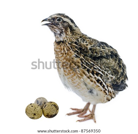 Adult quail with its eggs isolated on white background