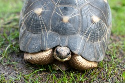 Adult radiated tortoise is on the grass outside showing off his beautiful patterned shell carapace on a sunny afternoon