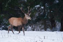 Adult red deer, cervus elaphus, posing in wintry weather. Attentive ruminant with beautiful antlers having a guard during snowing season. Wild animal showing its dominance.