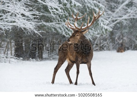 Adult Red Deer Stag ( Cervus Elaphus ) With Great Snow-Covered Horns In A Beautiful Pose On The Background Of Snowy Pine Forest And Snowflakes.  Deer Buck In Nature Habitat, Christmas Artistic Picture #1020508165